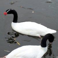 Черношейные лебеди :: Нина Бутко