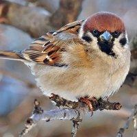 Кстати о птичках. Глаза в глаза через стекло окна... :: Александр Резуненко