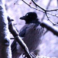 Ворона ... зимняя :: kolyeretka