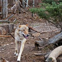 Осторожно ,волк :: Александр Запылёнов