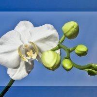 Цветок орхидеи :: Вячеслав Касаткин