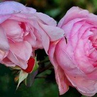 Последний цвет увядающих осенних роз. :: Пётр Сесекин