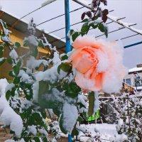 роза в снегу :: Юрий Владимирович
