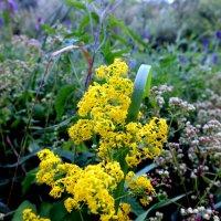 полевые цветы полесья :: Александр Прокудин