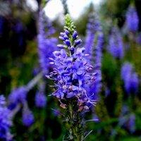 полевые цветы полесья 2 :: Александр Прокудин