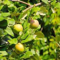 Соседские яблоки.... :: Tatiana Markova