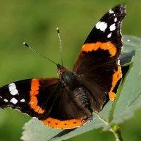 бабочка :: Елена Кирьянова