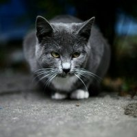 Серый кот :: Евгения Ки