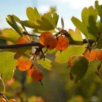 золотые ягоды :: Мария Букина