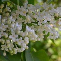 Весны аромат. :: zoja