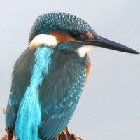 Зимородок - королевский рыболов :: Марина