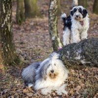 Бия учится лазить по деревьям :: Лариса Батурова