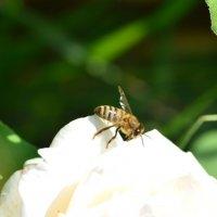 Пчела :: Ирина Тесцова