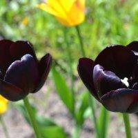 Черные тюльпаны. :: zoja