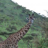 """Танзания. Национальный парк """"Серенгети"""". :: Елена Савчук"""