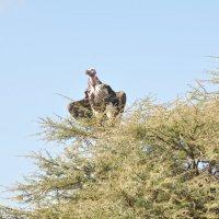 Танзания. Нац.парк Серенгети. :: Елена Савчук
