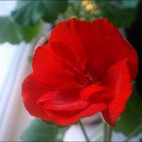 Аленький цветочек - особенная радость в декабре! :: Нина Корешкова
