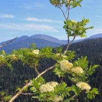 Зацвела рябина в горах :: Сергей Чиняев