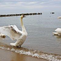 Лебедь.. :: Elena N