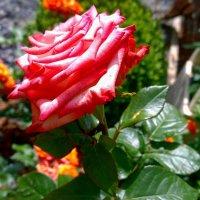 Красная роза :: Наталья (Nata-Cygan) Цыганова