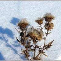 Колючки в снегах :: Андрей Заломленков
