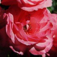 Просто роза :: Владимир Мальцев