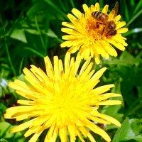 Одуванчики и пчёлка :: Виктор Шандыбин