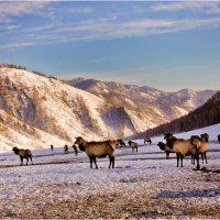 Алтайские маралы. :: Владимир Сидоркин