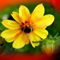 Цветы моего сада. Георгинка. :: Юрий Пожидаев