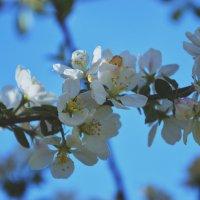 Цветущая яблоня :: Марина Макарьян