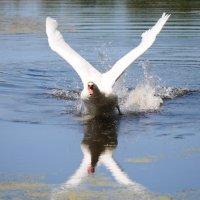 Дикий лебедь :: Igor Fursov