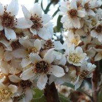 Цветы мушмулы :: Валентина Юшкова