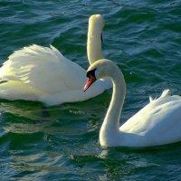 Морские лебеди :: Сергей Карачин