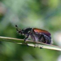 Лохматый  жук :: Геннадий Супрун