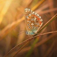 Голубянка :: Cергей Дмитриев