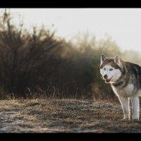 Сибирский хаски в лучах солнца :: Юрий Короновский