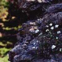 цветок в камне :: Иван Белашов