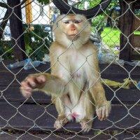 Лаос. Вьентьян. Монастырская обезьяна :: Владимир Шибинский