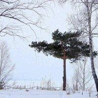 На высоком берегу на крутом ....стоит одиноко сосна. :: Мила Бовкун