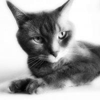 недовольная модель). (кот) :: лиана алексеева