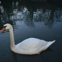 А белый лебедь на пруду.... :: Ирина Михайловна