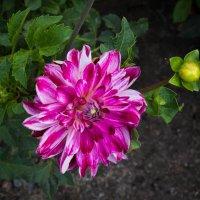 « А вот осенние цветы, Как островочек красоты…» :: Андрей Нибылица