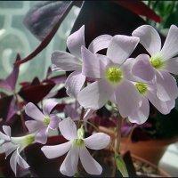 Цветение кислицы :: Нина Корешкова