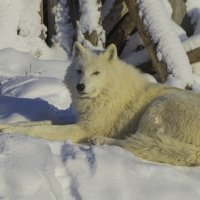 Полярный волк :: Владимир Максимов