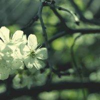 Вишня весной :: Ольга Гомозова
