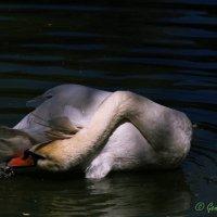 птица :: Гетта G