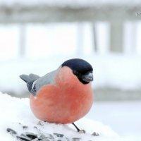 Снегирь, самец :: Майкл