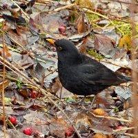 Среди листьев осенних ,птичка черная с желтым клювом -:)) :: Александр Запылёнов