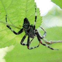 паук :: Елена Кирьянова