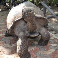 Занзибар. Гигантская сухопутная черепаха. :: Елена Савчук